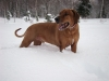 Rhodesian Ridgeback, 3 years, red wheaten